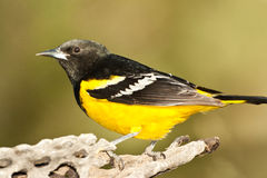Scott's Oriole. Full Body Profile of Adult Male Scott's Oriole Standing on Old Tree Branch Stock Photography