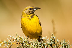 Scott's Oriole Royalty Free Stock Images