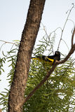 Scott's Oriole, Icterus parisorum Stock Photography