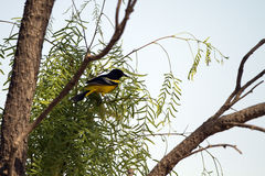 Scott's Oriole, Icterus parisorum Royalty Free Stock Photos
