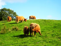 Scotthish cattle (UK). Several Scottish cows grazing during a sunny day in the Highlands (Scotland, UK Royalty Free Stock Photo