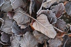 Scotti le foglie con la brina fotografia stock