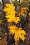 Scotti le foglie di acero immagini stock libere da diritti