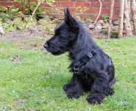 Scottie dog puppy sitting on lawn showing profile. Scottie dog puppy sitting on lawn showing profile looking at something in the distance. Little black pedigree stock photography