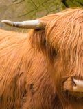 Scottisch母牛牛鼻症的长毛的母牛 免版税库存照片