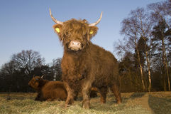 Scottisch highlander. In the early morning Stock Photo