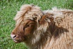Scottisch rinderartiges Tier Lizenzfreies Stockfoto