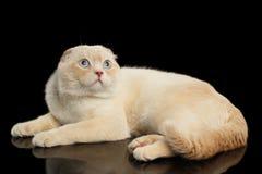 Scottish имбиря складывают кота лежа и смотря вверх изолированы на черноте стоковые изображения rf