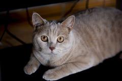scottish портрета створки кота стоковая фотография