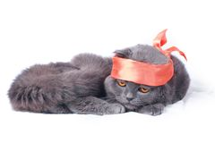 scottish самураев створки кота Стоковое Изображение RF