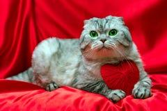 Scottish складывают кота сидя на красной ткани Рядом с ним лежит слышать Стоковое фото RF