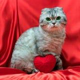 Scottish складывают кота сидя на красной ткани Рядом с ним лежит слышать Стоковая Фотография