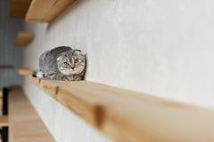 Scottish складывают кота смотря камеру и лежа на деревянной полке Стоковая Фотография