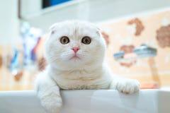 Scottish складывают котенка лежа в раковине в ванной комнате Стоковое фото RF