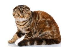 Scottish складывают striped кота сидя на белой предпосылке, взгляде со стороны Стоковая Фотография RF