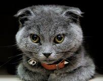 scottish створки кота шарика стоковое фото rf