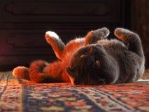 scottish створки кота шарика Стоковое Изображение