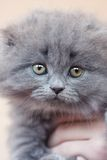 scottish створки кота Стоковая Фотография RF