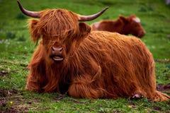 Scottish устрашают с длинными рожками и длинными волосами Стоковая Фотография RF