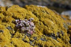 Scottish alpine on rock of yellow lichen Royalty Free Stock Photography