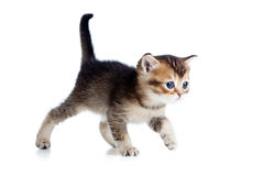 Scottish baby cat walking Royalty Free Stock Image
