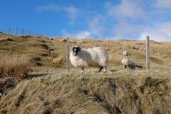 Scottish black face sheep. Stock Photos