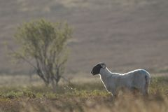 Scottish black faced sheep grazing with background, portraits Stock Images