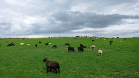 Scottish Black sheeps Royalty Free Stock Images
