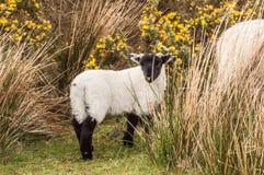 Scottish Blackface Lamb. Typical scottish breed, blackface sheep, Scotland UK Royalty Free Stock Photo