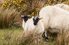 Scottish Blackface Lambs. Typical scottish breed, blackface sheep, Scotland UK Royalty Free Stock Photos