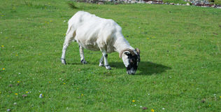 Scottish blackface sheep Royalty Free Stock Images