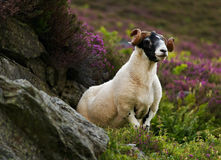 Scottish blackface sheep stock images