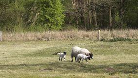 Scottish blackface sheep stock video footage