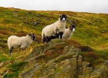Scottish blackface sheep horned sheep rugged terrain. Scottish blackface sheep horned sheep standing on rocks Royalty Free Stock Photography