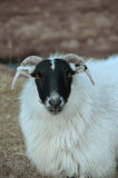 Scottish Blackface sheep Stock Photography