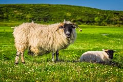 Scottish Blackface Sheep. A Scottish Blackface sheep and her lamb in the lush fields of Islay, Scotland Stock Photos