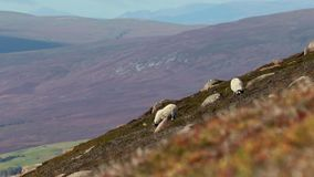 Scottish blackfaced sheep, Ovis aries, grazing on a mountain slope in the morning, Scotland. Scottish blackfaced sheep, Ovis aries, grazing on a mountain slope stock video footage