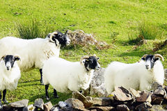 Scottish blackfaced Sheeps Stock Images