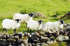Scottish blackfaced Sheeps Royalty Free Stock Images
