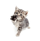 Scottish or british gray kitten gives paw Stock Photo
