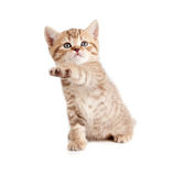 Scottish or british gray kitten with paw up Royalty Free Stock Image