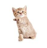 Scottish or british gray kitten with paw up. Scottish or british gray kitten gives paw Royalty Free Stock Image