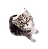 Scottish or british gray kitten top view  Royalty Free Stock Images