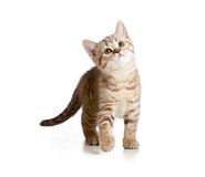 Scottish or british kitten Royalty Free Stock Photos