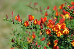 Scottish Broom Stock Images