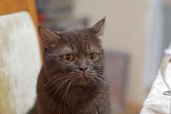 The Scottish brown chocolate cat sits on a chair near the dinner table with an angry look and also wants to eat. Dissatisfied cat Royalty Free Stock Image