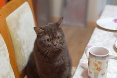The Scottish brown chocolate cat sits on a chair near the dinner table with an angry look and also wants to eat. Dissatisfied cat Stock Photo