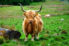 Scottish buffalo, highlander Stock Photo