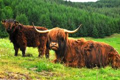 Scottish buffalo, highlander Royalty Free Stock Images