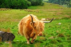 Scottish buffalo, highlander Royalty Free Stock Image